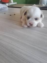Lhasa mini branco