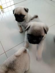 Cachorrinhos pug