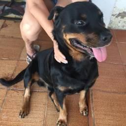 Rottweiler puro pedigree