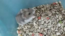 Hamster anão russo filhote (femea)