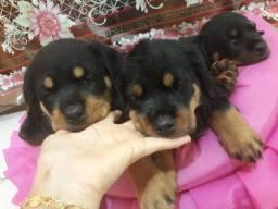 Disponiveis para alegrar e cuidar do seu lar Filhotes de Rottweiler de pais com pedigree