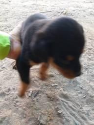 Vende se filhote de Rottweiler com 35 dias 500.00