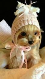 Belíssimos exemplares de Yorkshire Terrier