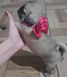 Pug macho aprico/marrom maravilhoso