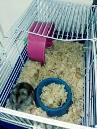Hamster anão russo 4 meses de vida
