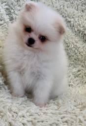 Lulu branca anão a mais linda spitz ursinho