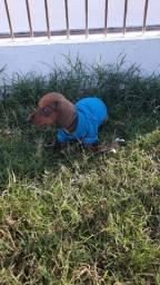 Macho ou femea dachshund