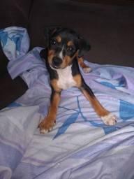 Cachorro Pincher com Fox Paulistinha