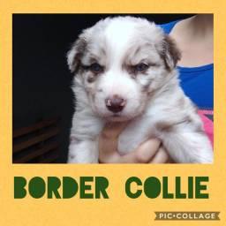 Border Collie com pedigree e microchip em até 18x