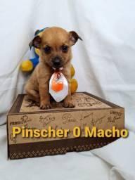 Pinscher brincalhões