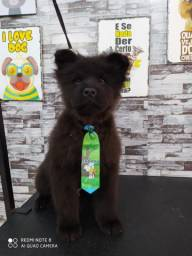 Chow chow (3meses)