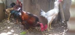 Aves caipira normal