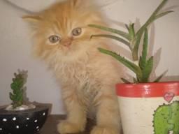 Belíssimo Gato Persa