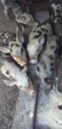 Vendo Porcos