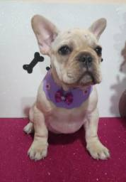 Bulldog francês fêmea em até 10X