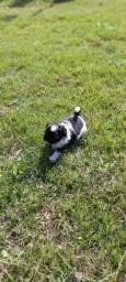 Cachorro shitzu macho mini