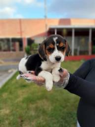 Beagle mini, a pronta entrega *