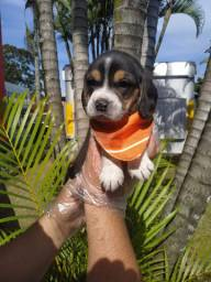 Beagle macho e fêmea puro e legitimo