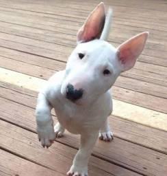 Bull Terrier inglês - Filhotes Macho e Fêmea a pronta entrega