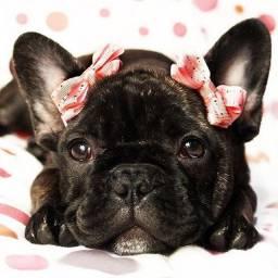 Bulldog Francês, machinhos e fêmeas com garantias de vida e saúde