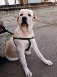 Labrador procurando namorada!