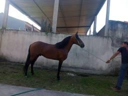 Cavalo registrado no MM genuíno d marcha picada