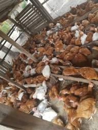 Vendo frangos