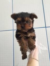 Yorkshire Terrier tamanhos micro e padrão 0.7