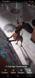 A procura de uma pinscher 0 ou 1 pra cruzar com meu cachorrinho