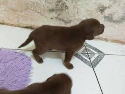 Cachorro Labradores