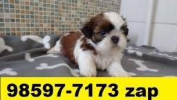 Canil Filhotes Cães Pet BH Shihtzu Pug Maltês Lhasa Poodle Basset Yorkshire