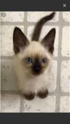 Alguém doando gato siamês?