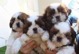 Lindos Beagles apaixonantes