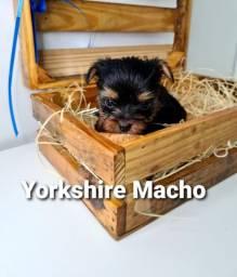 Yorkshire a pronta entrega, vacinados e vermifugados!