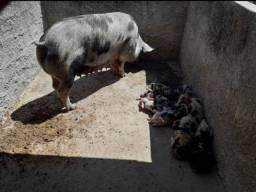 Vendo porcos, urgente pois estou de mudança