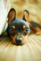 Pinscher amor incondicional