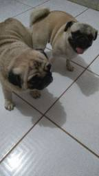 Macho com pedigree pra cruza