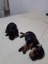 Vender casal de cachorro Pinscher N 1