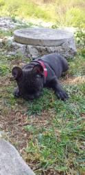Bulldog francês exótico
