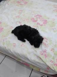 Poodle Micro Toy ( macho )