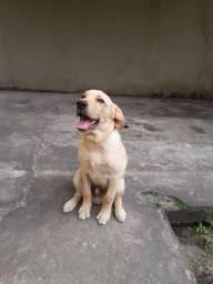 Labrador macho 5 meses