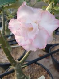 Rosas do Deserto.