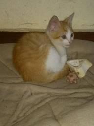 Gato filhote, macho amarelinho