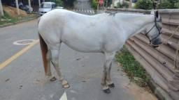 Égua macha picada