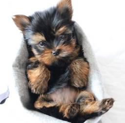 Yorkshire terrier filhotes mini e micro
