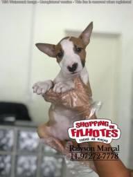 Bull Terrier mini, filhotes pirata / fulvo / tricolor (11)260-506.61