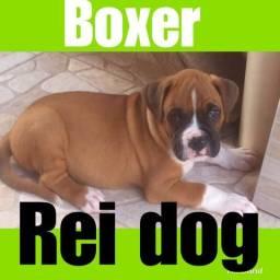 Boxer em 12 x grupo Reidog