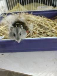 Vende-se hamster anão russo.