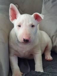 Bull terrier - A pronta entrega