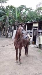 Cavalo appalossa mangarlaga